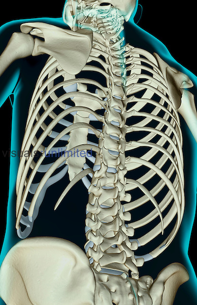 An inferior posterolateral view (left side) of the bones of the upper body. The surface anatomy of the body is semi-transparent and tinted green. Royalty Free