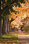 Freshly fallen leaves cover the ground in the University neighborhood of Missoula, Montana