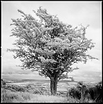 Tree, Exmoor