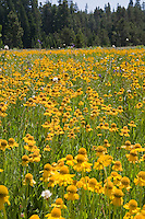 Bigelow's Sneezeweed (Helenium bigelovii) yellow flower summer wildflower field at Big Meadows, El Dorado National Forest, California