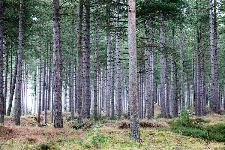 Light from the Tay Estuary spreading through pine trees in Tentsmuir Forest Tayport Fife Scotland