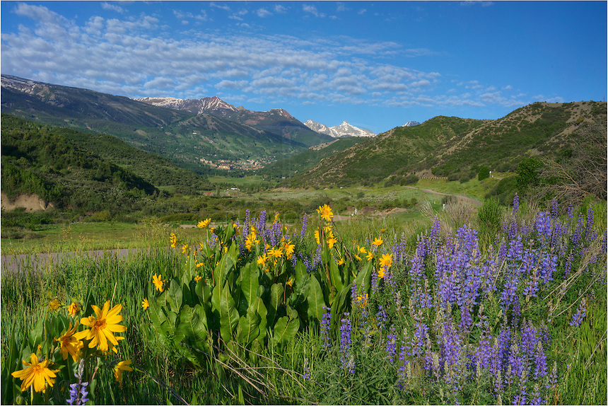 Gold and Purple Colorado wildflowers line the road heading towards Snowmass Village. This landscape was taken on an early morning in late June. In the distance is the ski resort of Snowmass Village, nestled in the Rocky Mountains.