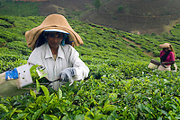 Wayanad, Kerala, India, April 2008. Green Tea plantations line the rolling hills. The Wayanad district of Kerala offers wildlife viewing opportunities, an insight into tribal culture evocative of earlier centuries, trekking and other adventure activities. Photo by Frits Meyst/Adventure4ever.com