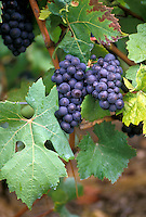 Ripe clusters of purple grapes on the vine from winery in Switzerland