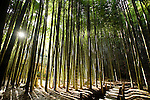 Photo shows the bamboo grove in the grounds of Hokokuji temple in Kamakura, Japan on 25 Jan. 2012. Photographer: Robert GilhoolyPhoto shows the bamboo grove in the grounds of Hokokuji temple in Kamakura, Japan on 24 Jan. 2012. Photographer: Robert Gilhooly