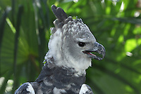 Harpy Eagle head (Harpia harpyja), Belize