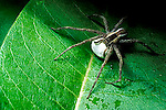 Nurseryweb Spiders