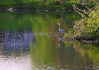 Blue Heron Fishing in New Hampshire