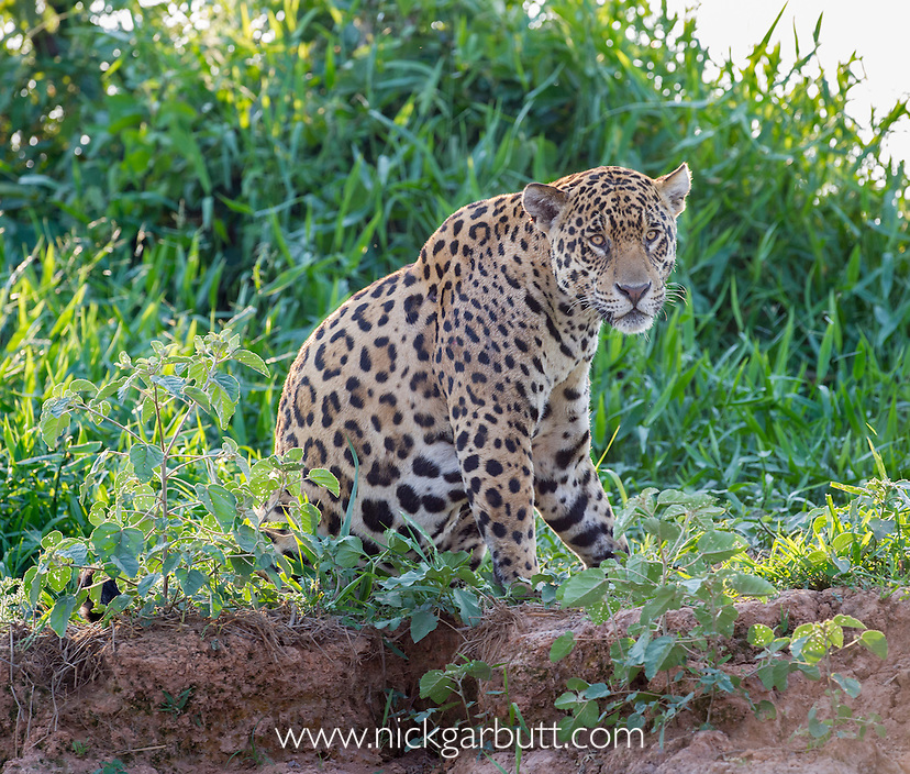 Male Jaguar (Panthera onca palustris) resting on the banks of the Tres Irmãos River (Three Brothers River), a tributary of the Cuiaba River. Near Porto Jofre, northern Pantanal, Mato Grosso State, Brazil.