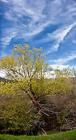 Clouds streak a blue sky over a tree in Weber Canyon near Ogden, Utah.