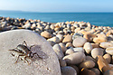 Scaly Cricket (Pseudomogoplistes vicentae) in shingle beach habitat. Chesil Beach, Dorset, UK. June.