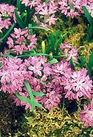 Allium oreophilum 'Zwanenburg' in pink flowers