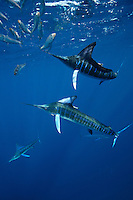 qf1491-D. Striped Marlin (Tetrapturus audax), feeding on Pacific Sardines (Sardinops sagax). Baja, Mexico, Pacific Ocean..Photo Copyright © Brandon Cole. All rights reserved worldwide.  www.brandoncole.com..This photo is NOT free. It is NOT in the public domain. This photo is a Copyrighted Work, registered with the US Copyright Office. .Rights to reproduction of photograph granted only upon payment in full of agreed upon licensing fee. Any use of this photo prior to such payment is an infringement of copyright and punishable by fines up to  $150,000 USD...Brandon Cole.MARINE PHOTOGRAPHY.http://www.brandoncole.com.email: brandoncole@msn.com.4917 N. Boeing Rd..Spokane Valley, WA  99206  USA.tel: 509-535-3489