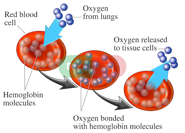 Red Blood Cell (RBC) - Hemoglobin. Displays red blood cells (RBCs) transporting oxygen molecules bonded with hemoglobin from the lungs to the body's tissues during gas exchange.