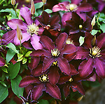 "The flowers of Clematis ""Niobe"""