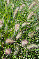 Pennisetum alopecuroides 'Hameln' dwarf fountain grass, ornamental grass in flower, closeup