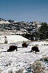 WY: Wyoming; Yellowstone National Park, Buffalo, winter, snow                     .Photo Copyright Lee Foster, lee@fostertravel.com, www.fostertravel.com, (510) 549-2202.Image: wyyell216
