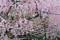 Bamboo canes support the branches of flowering cherries (Prunus pendula 'Pendula')