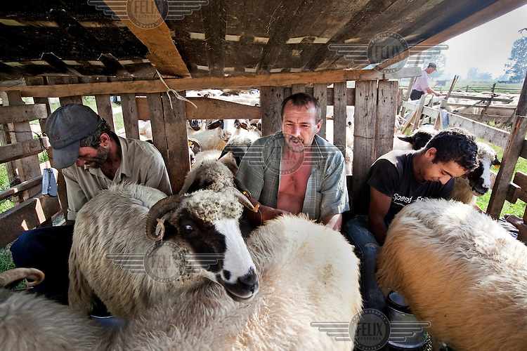 Farmers milk ewes in a wooden cage.