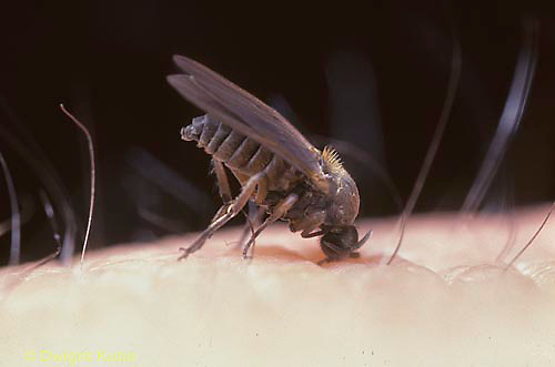 FS10-002x  Black Fly adult biting human - Prosimulium spp..