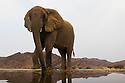 Namibia;  Namib Desert, Skeleton Coast, Hoanib River, desert elephant (Loxodonta africana) at artificial waterhole