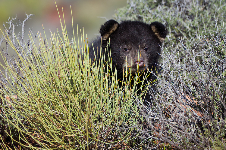 Baby Black Bear hiding out in a bush - CA