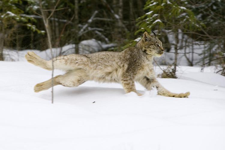 Lynx chasing through the snow - CA
