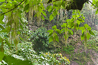 Cloudforest vegetation, Cost Rica, Central America