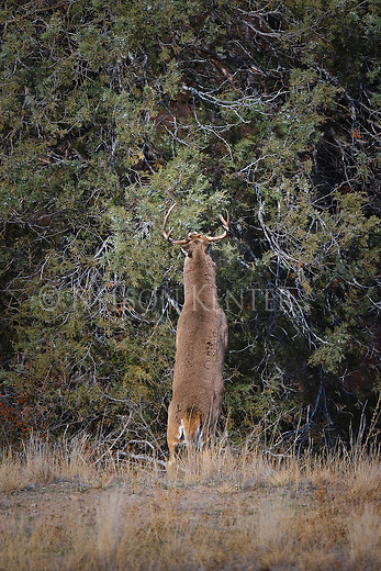 Whitetail buck standing on hind legs to feed on juniper berries