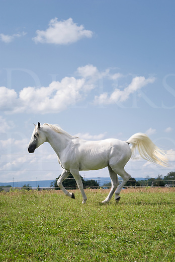 White Arabian stallion horse running with flagging tail under perfect summer sky.