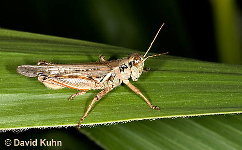 0110-0913  Migratory Grasshopper, Melanoplus sanguinipes   © David Kuhn/Dwight Kuhn Photography
