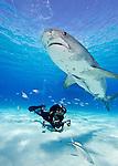 Bahamas; Sharks and dolphins; tiger shark(Galeocerdo cuvier)