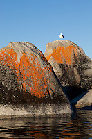 """Seagull on a Tahoe Boulder 2"" - This seagull standing on a orange, black, and grey boulder was photographed near Speedboat Beach, Lake Tahoe."