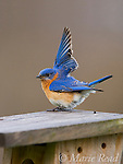 Eastern Bluebird (Sialia sialis) male performing wing-wave display as part of courtship behavior, while perched on nest box,  New York, USA