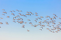 Flock of Snowgeese looking for a place to land a lower Currituck County.