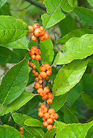 Ilex verticillata 'Winter Gold' in orange gold berries in early spring with leaves and clusters of winterberry