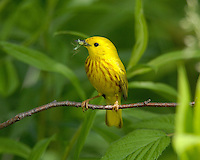 A Yellow Warbler (Dendroica petechia) male with food near the nest (Indiana)