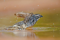 578670035 a wild adult black-throated sparrow amphispiza bilineata takes flight after bathing in a pond in the lower rio grande valley in south texas in the united states