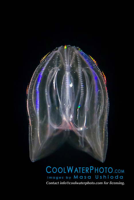 warty comb jelly or sea walnut, Mnemiopsis leidyi (Synonym: Mnemiopsis gardeni, Mnemiopsis mccradyi), showing the light diffraction (scattering of light) along the comb rows which propel its gelatinous body effectively in mid-water, bioluminescent animal, Atlantic Ocean (c)
