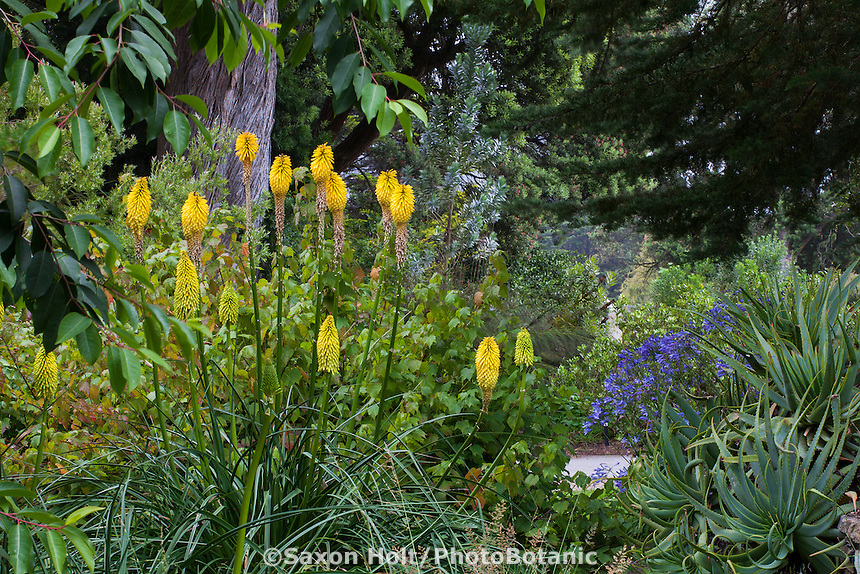 Kniphofia 'Wrexham Buttercup'  yellow flowering Red Hot Poker, Torch Lily, perennial in San Francisco Botanical Garden