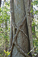 Florida Strangler Fig (Ficus aurea) with roots encircling the host tree, Corkscrew Swamp, Corkscrew Audubon Reserve, Florida, USA.