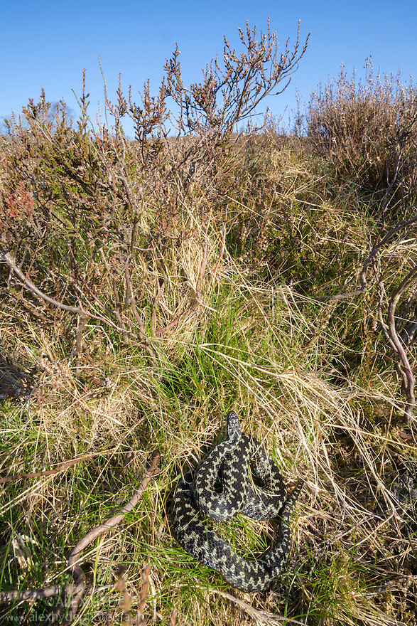 Male Adder (Vipera berus) basking amongst heather bushes. Peak District National Park, Derbyshire, UK. April.