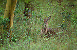 Common waterbuck, Kenya
