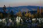 The last rays of sunlight on blooming beargrass in the mountains on the Lolo National Forest in western Montana