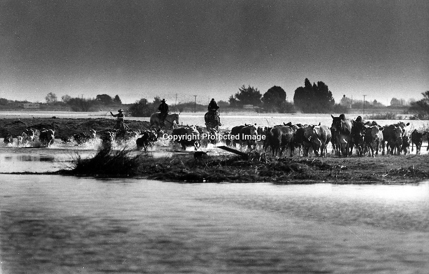 Ranchers drive their cattle to high ground during levee break and Island flooding in the Delta.<br />