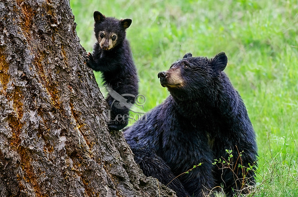 Wild Black Bears (Ursus americanus)--sow with young cub. Curious, yet shyly hesitant the cub descents under mom's watchful eye. Western U.S., Spring.