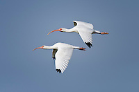 Pair of White Ibis in flight