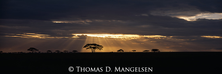 The setting sun breaks through dense clouds silhouetting an Acacia Tree on the skyline in Serengeti National Park in Tanzania.
