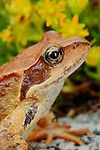 European Common Frog (Rana temporaria), Europe.