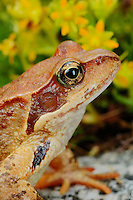 European Common Frog (Rana temporaria), Europe.